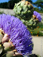 flowering-globe-artichoke