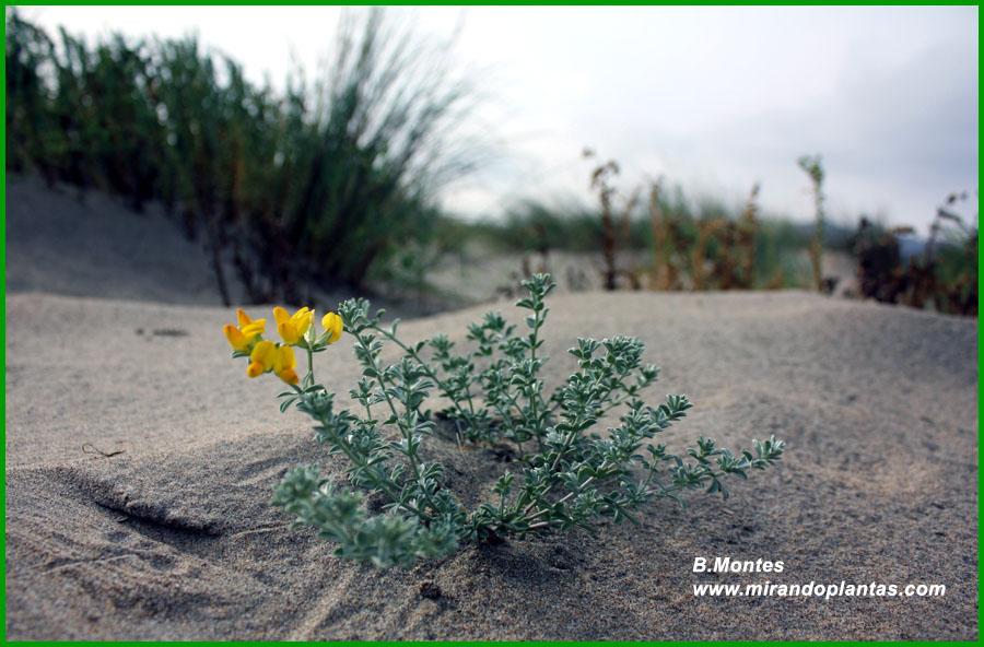 Lotus creticus L  Mirando Plantas