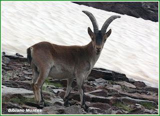 http://laslagunillas.blogspot.com.es/2010/09/apacible-macho-de-cabra-montes.html