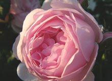 rosarian