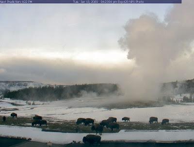 A herd of buffalo at Old Faithful on 01/13/09