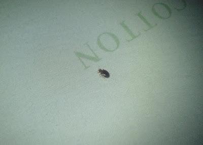 khatmal bedbug