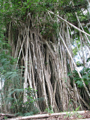 tinian banyon tree