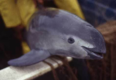 vaquita