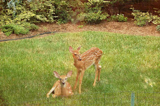 Fawns in our backyard enjoying the evening