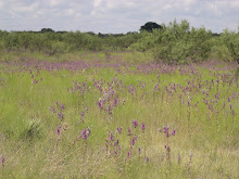 Texas Wildflowers (thistles)
