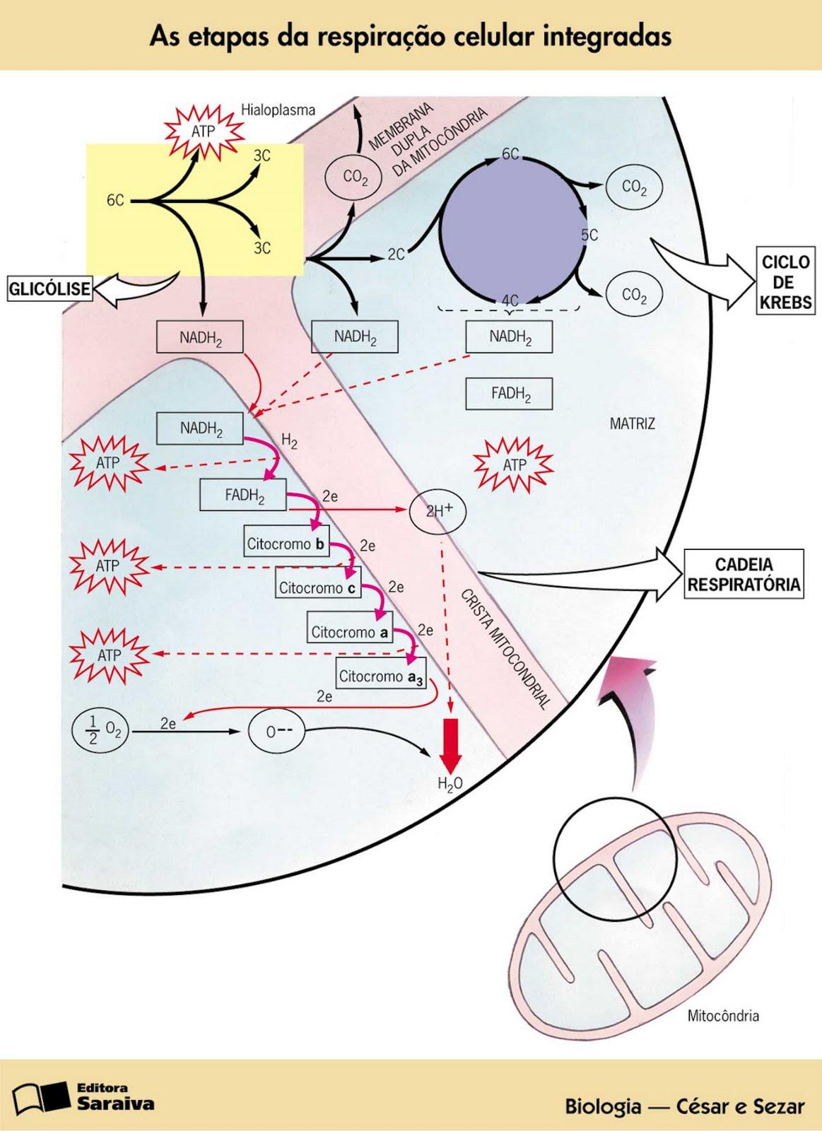 imagens respiraçao celular - Mitocôndrias (organelas celulares) InfoEscola
