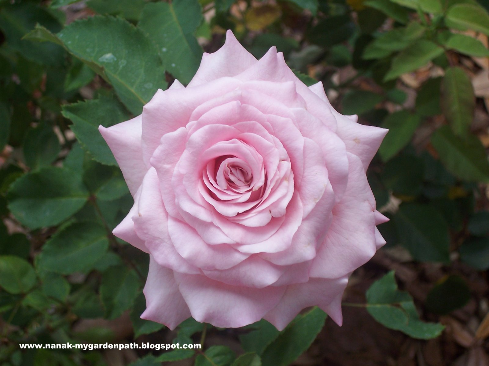 My garden path bowing before the beauty of belindas dream i have never grown such a beautiful flower before this rose is so full of petals and just keeps opening up more and more every day izmirmasajfo