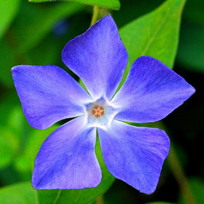 Periwinkle Flower Photographer, Writer a...