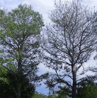 Pine sawfly damage (tree on right) in Kaufman County.  Photo by Pam Corder.