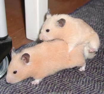 hamster pprn
