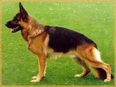 Perro pastor alemas