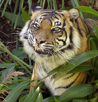 smiling tiger real in indonesia