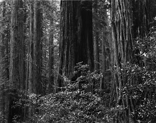 Brandon Allen Photography - Redwood Forest - Large Format Black and White