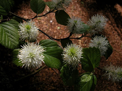 Fothergilla gardenii in bloom