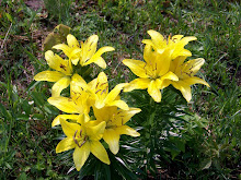 Lillies - May 2008
