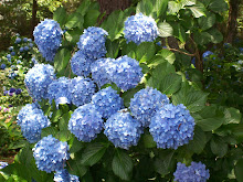 HYDRANGEAS, MY FAVORITE!