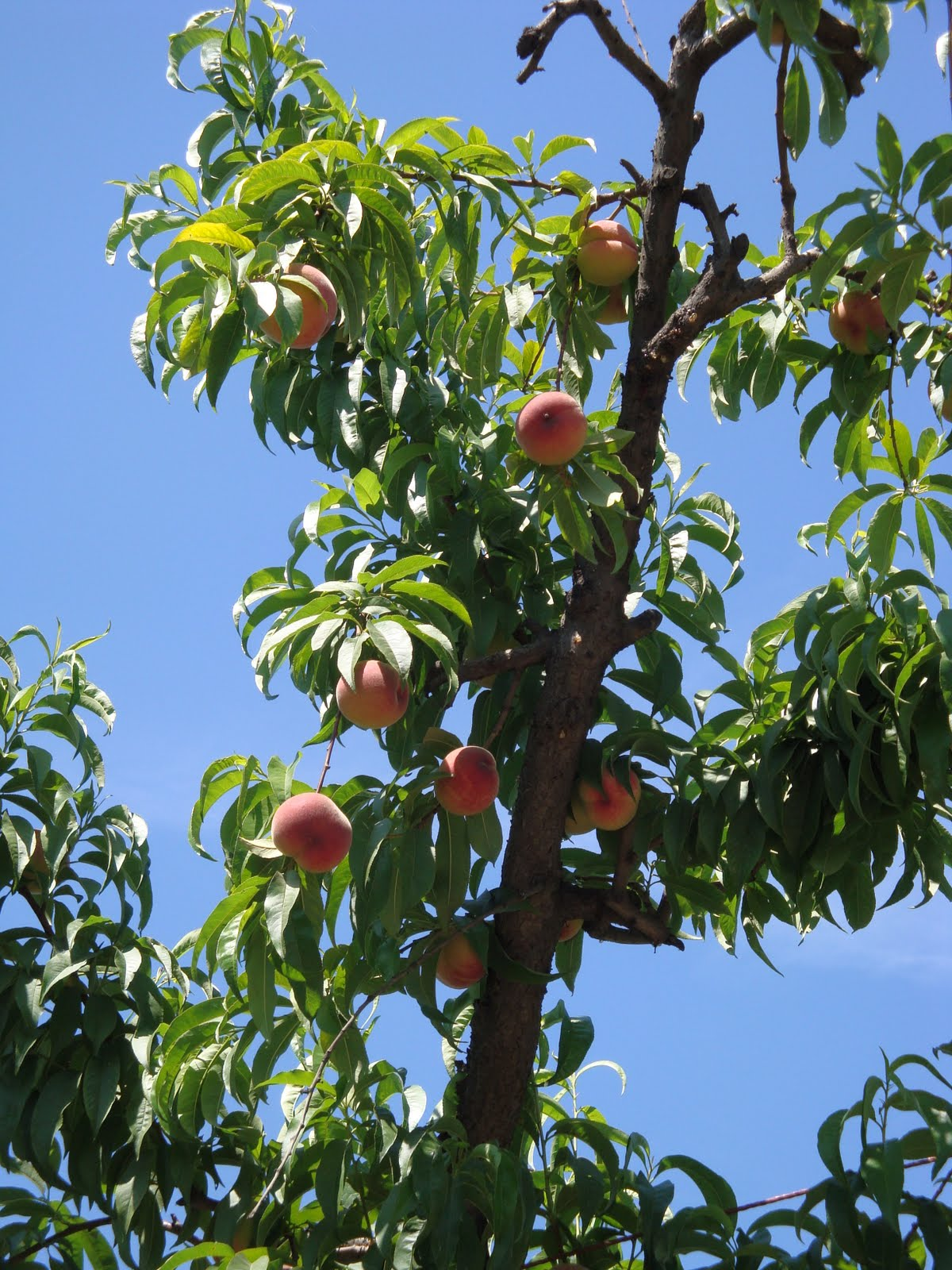 peach orchard hindu singles Interactive and printable 72453 zip code maps, population demographics, peach orchard ar real estate costs, rental prices, and home values.