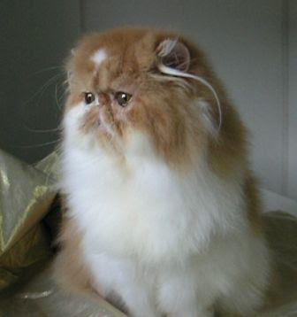 Sekeping Gambar, Pelbagai Cerita.: Kucing Parsi.