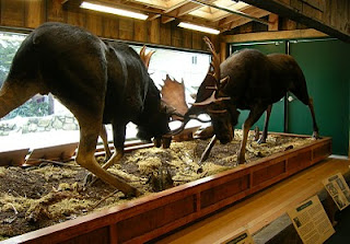 locked moose antlers