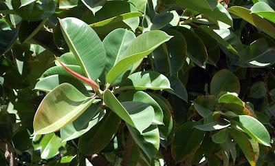 Un paseo bot nico por triana un rbol tropical for Arboles que no se le caen las hojas en invierno