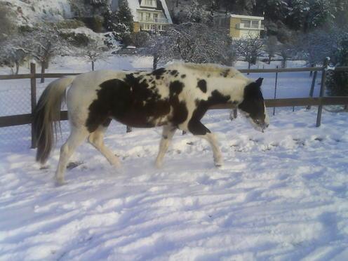 Billy Kris, cheval d'indien Polonais en Normandie - Page 3 DSC00616