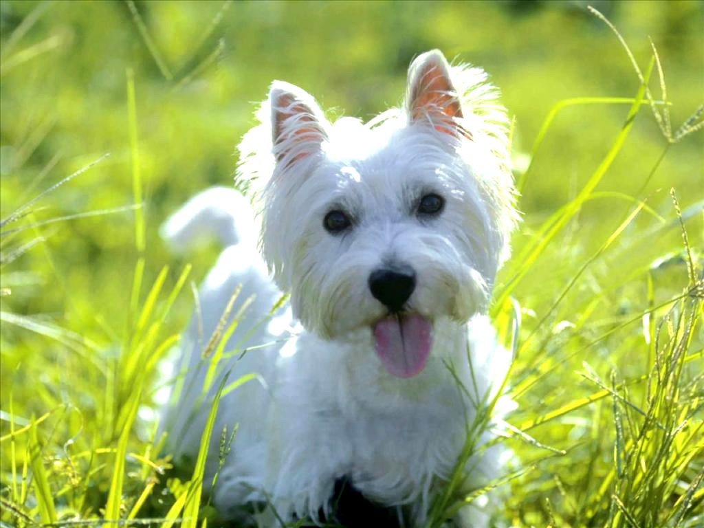 white yorkshire terriers
