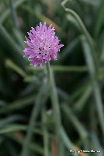 Tear apart a chive flower before using. Otherwise, this edible flower may be too strong.