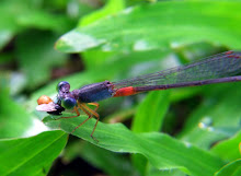 Damselfly, blue and red3