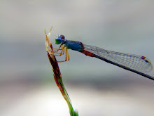Damselfly, blue and red6