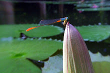 Damselfly, blue and red7
