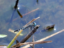 Blue and black dragonfly1