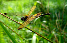 Bumblebee dragonfly1