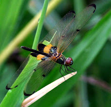Bumblebee dragonfly3