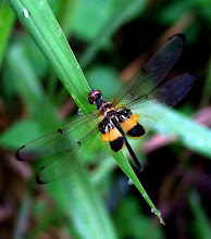 Bumblebee dragonfly5