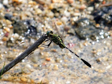 Green and black dragonfly1