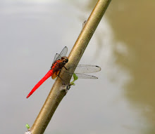 Red dragonfly1