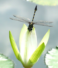 Green and black dragonfly10
