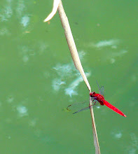 Red dragonfly3