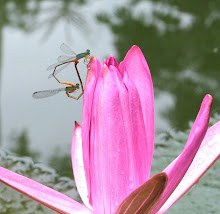 Damselfly mating12
