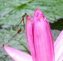 Damselfly mating10