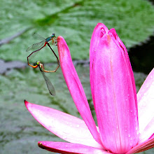 Damselfly mating5