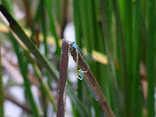 Blue Damselfly mating2
