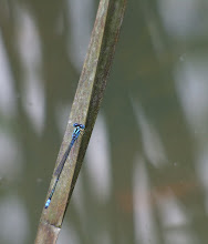 Blue Damselfly4