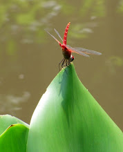 Red Dragonfly5
