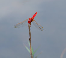 Red Dragonfly11