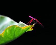 Maroon Dragonfly5