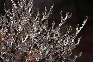 Iced over azalea