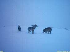 Estudio del lobo en Fuentes del Narcea