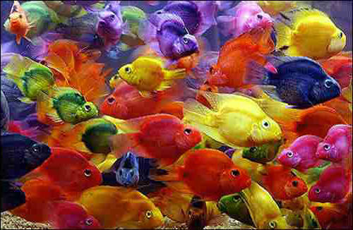 Fresh water aquarium oscar fish for Parrot fish freshwater